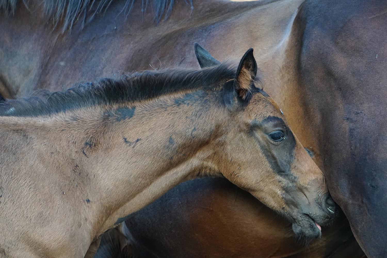 Photographie prise par Horse Development lors d'une visite d'un élevage, poulain cherchant à têter sa mère, poulinière, transfert d'embryons, monte en mains