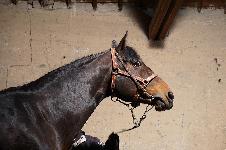 Photographie prise par Horse Development lors d'une structure équestre, un entier bai en présentation