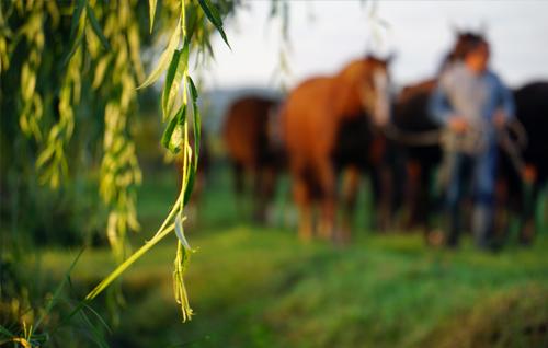 Photographie prise par Horse Development, troupeau de chevaux à l'élevage guidés par un homme. Horse Development vous acccompagne pour réaliser une étude de marché pour votre projet lié à l'élevage des chevaux