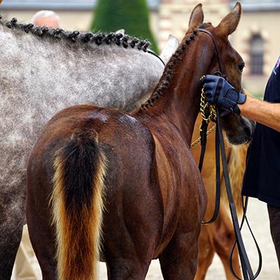 Poulains et poulinières présentés lors d'une compétition d'élevage SHF à St-Lô en Normandie, photographie prise par Horse Development, agence de communication de la filière cheval