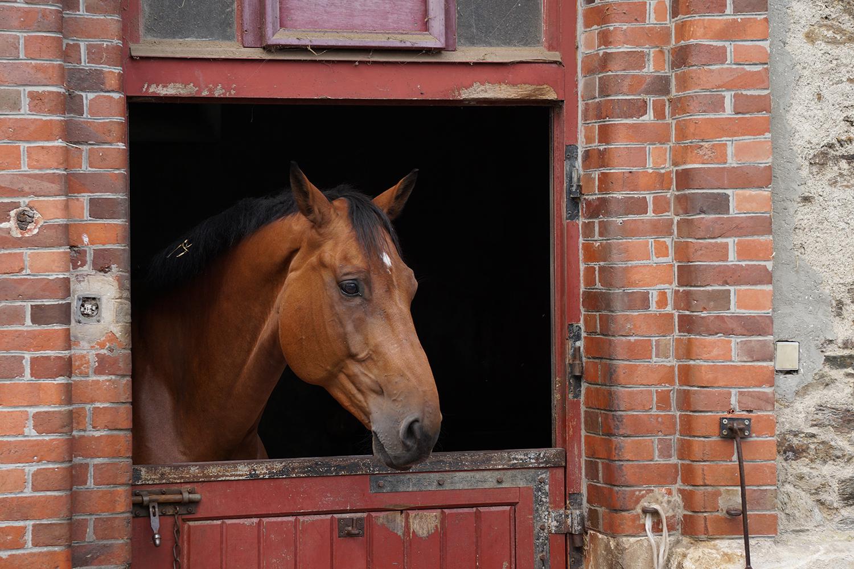 Photographie prise par Horse Development lors d'une visite d'une écurie, bel entier à la porte de son box ou de son écurie