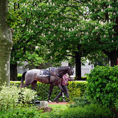 Galopeur au pas, à l'hippodrome de Lyon parilly, tenu en main par un lad-jockey, photographie prise par Horse Development, agence de communication de la filière cheval