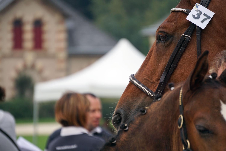 Poulains et jument, élevage de chevaux de sport